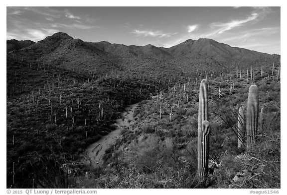 Wash, cactus, and Wasson Peak. Saguaro National Park (black and white)