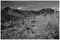 Palo Verde, cacti, and Wasson Peak. Saguaro National Park ( black and white)
