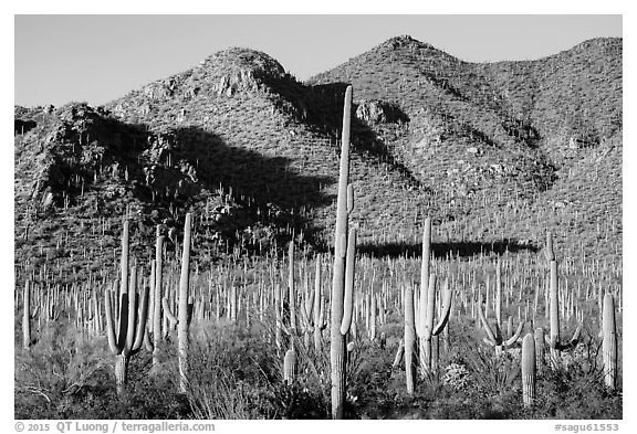 Dense saguaro forest and Red Hills. Saguaro National Park (black and white)