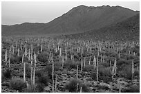 Bajada with cactus forest and Tucson Mountains at dusk. Saguaro National Park ( black and white)