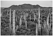 Bajada covered with cactus and Tucson Mountains at dusk. Saguaro National Park ( black and white)