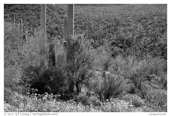 Bajada in springtime. Saguaro National Park (black and white)