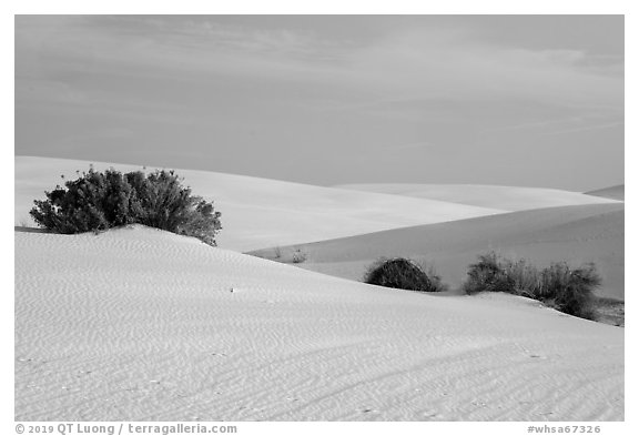Srubs in dune field. White Sands National Park (black and white)