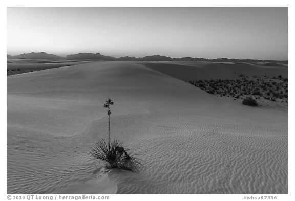 Dunes and soaptree Yucca in autumn at sunset. White Sands National Park (black and white)
