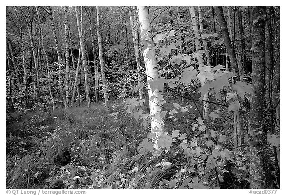 Autumn forest scene with white birch and red maples. Acadia National Park (black and white)