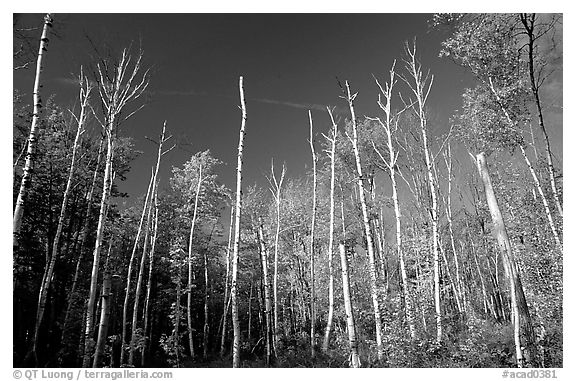 Forest of White birch trees. Acadia National Park (black and white)