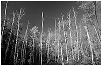 Forest of White birch trees. Acadia National Park ( black and white)