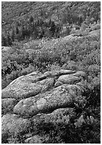 Bright red shrubs and granite slabs on Cadillac mountain. Acadia National Park, Maine, USA. (black and white)