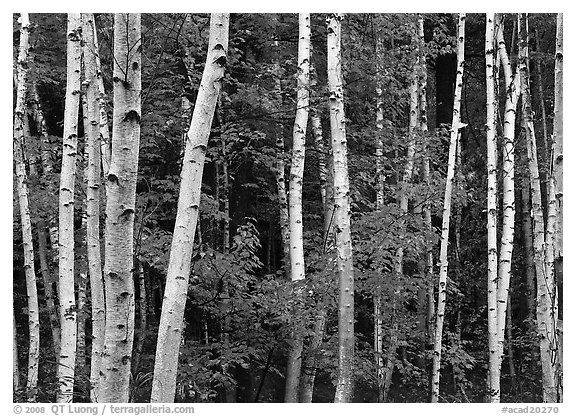 White birches and red maples. Acadia National Park (black and white)