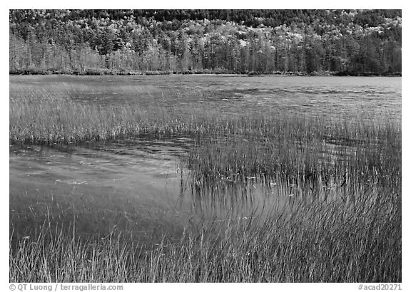Reeds in pond with trees in fall foliage in the distance. Acadia National Park (black and white)