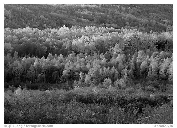 Mosaic of trees in autumn color. Acadia National Park (black and white)