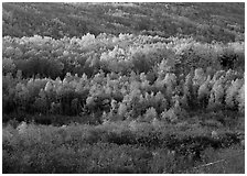 Mosaic of autumn color trees on hillside. Acadia National Park, Maine, USA. (black and white)