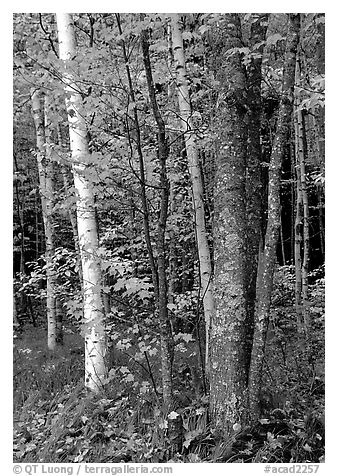 Bouquet of trees in fall colors. Acadia National Park (black and white)