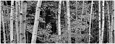 White birch trees and orange-colored maple leaves in autumn. Acadia National Park (Panoramic black and white)