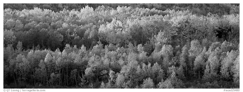 Distant trees in fall foliage. Acadia National Park (black and white)