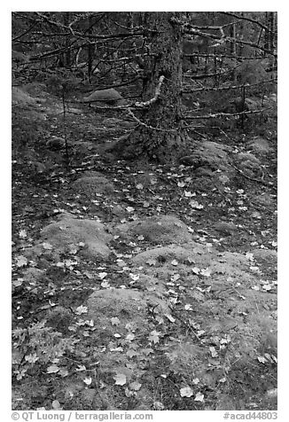 Moss, leaves, and tree. Acadia National Park (black and white)