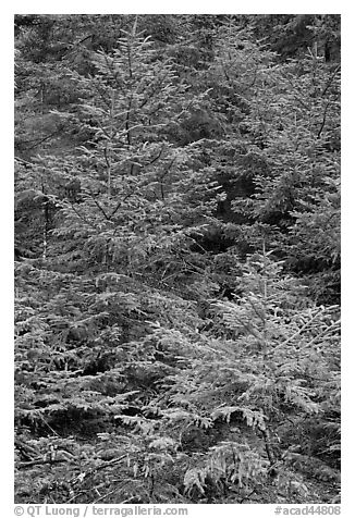 Pine saplings. Acadia National Park (black and white)