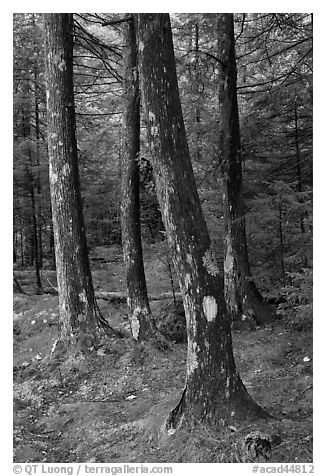 Trees and moss. Acadia National Park (black and white)