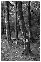 Trees and moss. Acadia National Park ( black and white)