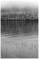 Reeds and hillside in fall foliage on foggy day. Acadia National Park, Maine, USA. (black and white)
