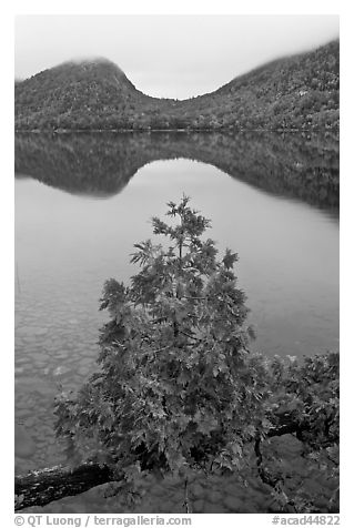 Sapling growing out of branch and hills, Jordan Pond. Acadia National Park (black and white)