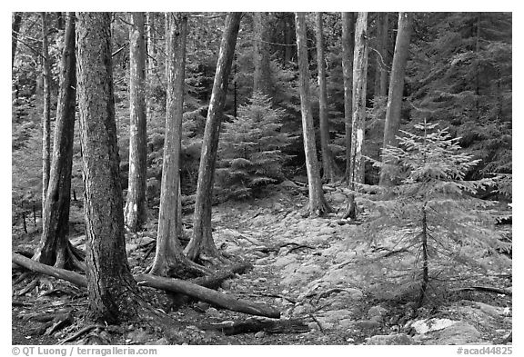Pine saplings and tree trunks. Acadia National Park (black and white)