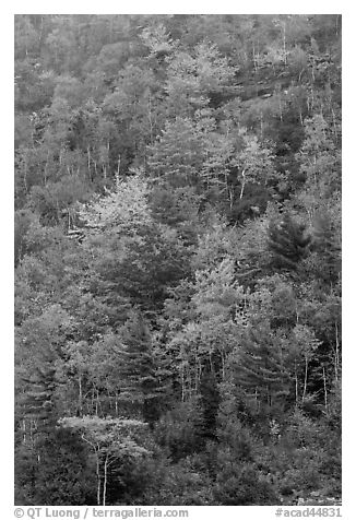 Trees in autumn colors on hillside. Acadia National Park (black and white)