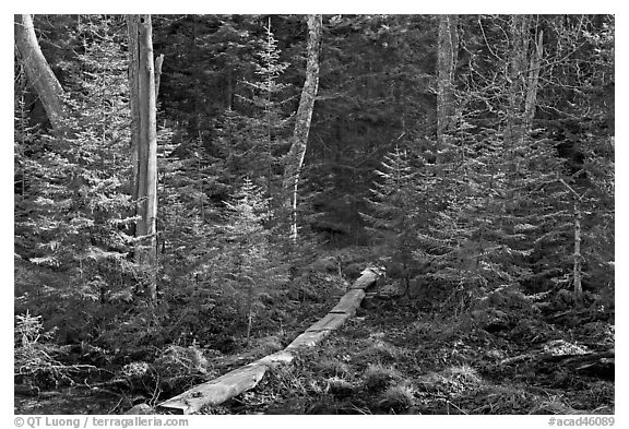 Forest trail with boardwalk, Isle Au Haut. Acadia National Park (black and white)