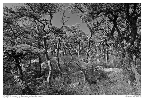 Pine forest, Isle Au Haut. Acadia National Park (black and white)
