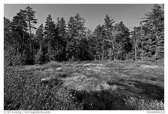 Bog and forest, Isle Au Haut. Acadia National Park (black and white)