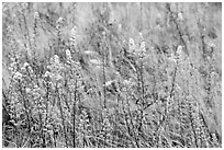 Goldenrods (Solidago) close-up. Acadia National Park, Maine, USA. (black and white)