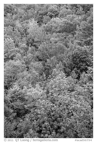 Deciduous tree canopy. Acadia National Park (black and white)