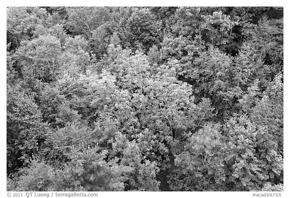 Tree canopy in summer. Acadia National Park (black and white)