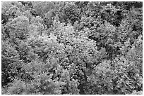 Tree canopy in summer. Acadia National Park ( black and white)