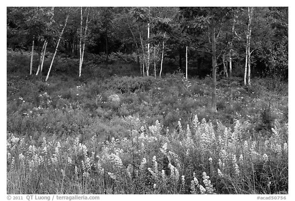 Goldenrod flowers and birch trees. Acadia National Park (black and white)