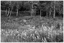 Goldenrod flowers and birch trees. Acadia National Park ( black and white)