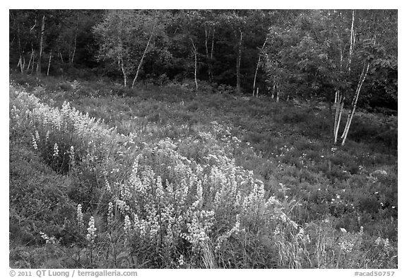 Summer meadow with wildflowers at forest edge. Acadia National Park (black and white)