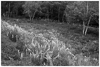 Summer meadow with wildflowers at forest edge. Acadia National Park ( black and white)