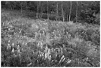 Meadow bordered by trees, with summer flowers. Acadia National Park, Maine, USA. (black and white)