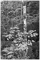 Vine maple and birch tree, and cliff in summer. Acadia National Park, Maine, USA. (black and white)