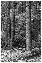 Pines and ferns. Acadia National Park, Maine, USA. (black and white)