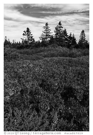 Berry plants and spruce in autumn, Little Moose Island. Acadia National Park (black and white)