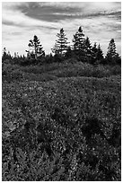 Berry plants and spruce in autumn, Little Moose Island. Acadia National Park ( black and white)