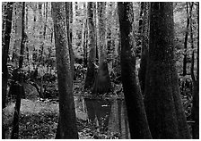 Swamp with bald Cypress and tupelo in summer. Congaree National Park ( black and white)