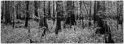 Green forest with cypress knees in summer. Congaree National Park (Panoramic black and white)