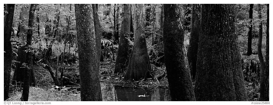 Green swamp forest in summer. Congaree National Park (black and white)
