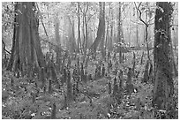 Cypress knees in misty forest. Congaree National Park, South Carolina, USA. (black and white)