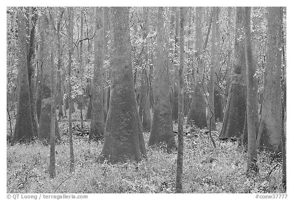 Cypress and tupelo floodplain forest in rainy weather. Congaree National Park (black and white)