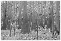 Cypress and tupelo floodplain forest in rainy weather. Congaree National Park, South Carolina, USA. (black and white)