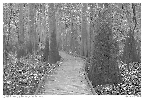 Boardwalk snaking between giant cypress trees in misty weather. Congaree National Park (black and white)
